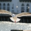 图库照片: Seagull before landing. SFrancisco, USA.