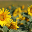 Stock Photo: Sunflowers on field.