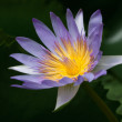 Blue water lily. - Stock Photo