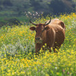 Stock Photo: Cow on field. Israel.