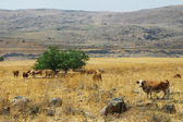 Herd of cows on the field. Golan Heights, Israel. — Stock Photo