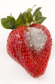Strawberry with mold fungus — Stock Photo