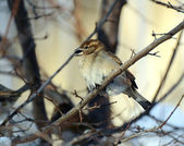 Sparrow in winter. Minus 20 Celsius. — Stock Photo