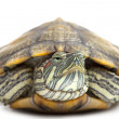 Portrait of a turtle close-up - Stock Photo