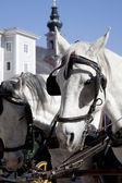 Carriage horses in Salzburg, Austria — Stock Photo