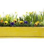 Yellow flowerpot with daffodils — Stock Photo