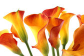 Bouquet Calla — Stock Photo