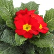 Red Primrose — Stock Photo