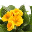 Yellow Primrose — Stockfoto