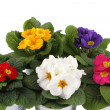 Stock Photo: Many Primrose potted plants