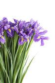 Iris — Foto de Stock