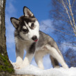 Siberian Husky Puppy — Stock Photo #9354313