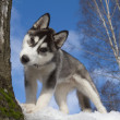Siberian Husky Puppy — Stock Photo