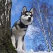 Siberian Husky Puppy — Stock Photo #9354316