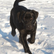 Black Labrador Retriever Puppy - Foto Stock
