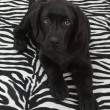 Black labrador retriver puppy — 图库照片