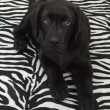 Black labrador retriver puppy — Stockfoto