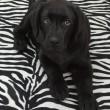 Black labrador retriver puppy — Stock Photo #9362257