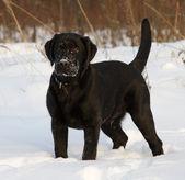 černý labradorský retrívr štěně — Stock fotografie
