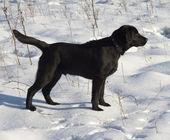 Chiot noir labrador retriever — Photo
