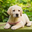 Royalty-Free Stock Photo: Yellow lab puppy in the yard