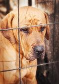 Tosa Inu (japanese mastiff) guard dog — Stock Photo