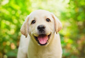 Yellow lab puppy in the yard — Stock Photo