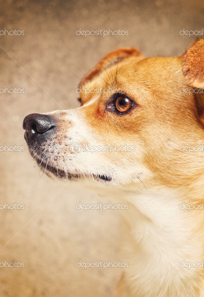 Portrait of a mixed breed dog (shallow dof)  — Stock Photo #10214798