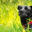 Foto Stock: Mixed breed dog enjoying nature