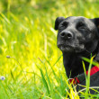 Foto de Stock  : Mixed breed dog enjoying nature