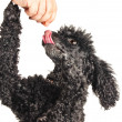 French poodle begging for treats — Stock Photo