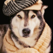 Cute siberian husky wearing a vintage hat and a shawl — Stock Photo