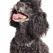 French poodle isolated on white - Stock Photo