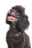 French poodle isolated on white — Stock Photo