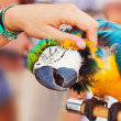 Human hand petting a blue-and-yellow Macaw (Ara ararauna) — Stock Photo #9911157