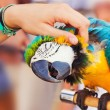 Human hand petting a blue-and-yellow Macaw (Ara ararauna) - Stock Photo