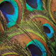 Peacock feather backgound — Stock Photo