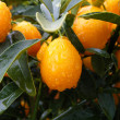 Stock Photo: Clementine Mandarin