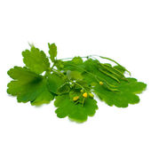 Celandine (Chelidonium majus), herbal medicine - medicinal herbs — Stock Photo