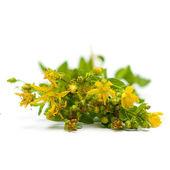 Tutsan (Saint-John's-wort), herbal medicine — Stock Photo