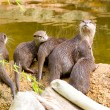 Otter with offspring — Stock Photo