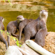 Otter with offspring — Stockfoto