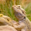 Royalty-Free Stock Photo: Two yellow lizzards copulating in grass