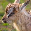A little goat head — Stock Photo #10166254