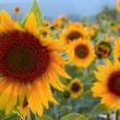 Sunflowers — Stock Photo #10166575