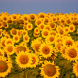 Beautiful sunflowers field — Stock Photo
