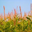 Corn field with blue sky — Foto de Stock