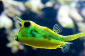 Peixes exóticos amarelos — Foto Stock