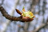 Tree twig with bud — Stock Photo