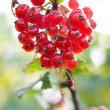 Stock Photo: Cluster of red currants